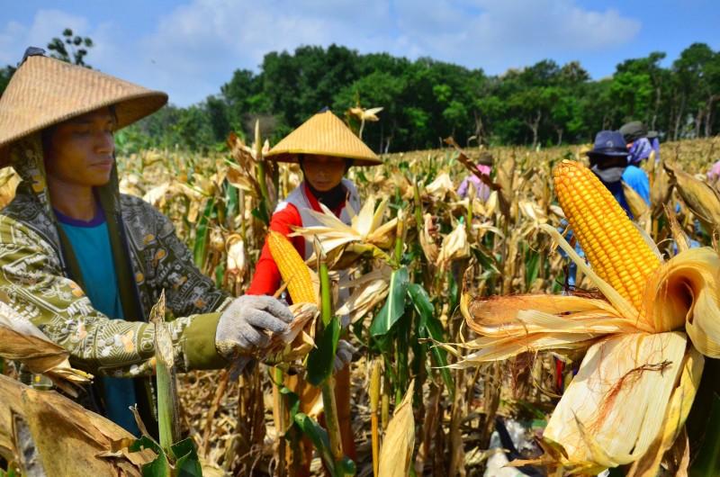 Dampak El Nino Pada Sektor Pertanian Indonesia Vibizmediacom