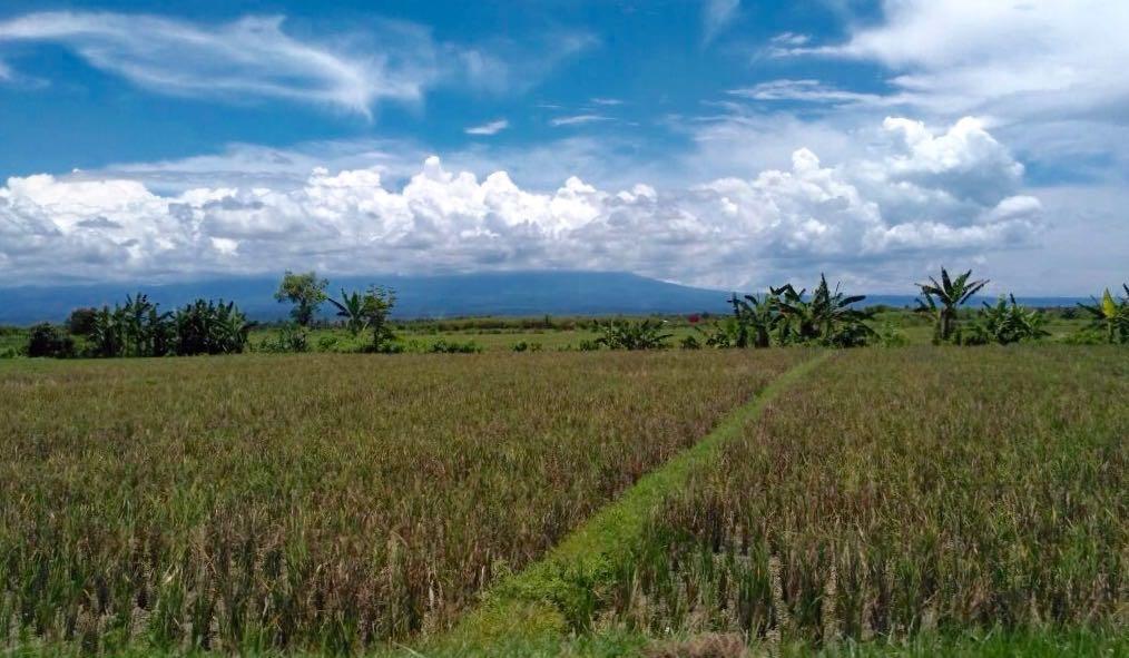 Indahnya persawahan di dekat bandara Blimbingsari, Banyuwangi (Photo: M. Fitriani/ Vibizmedia.com)