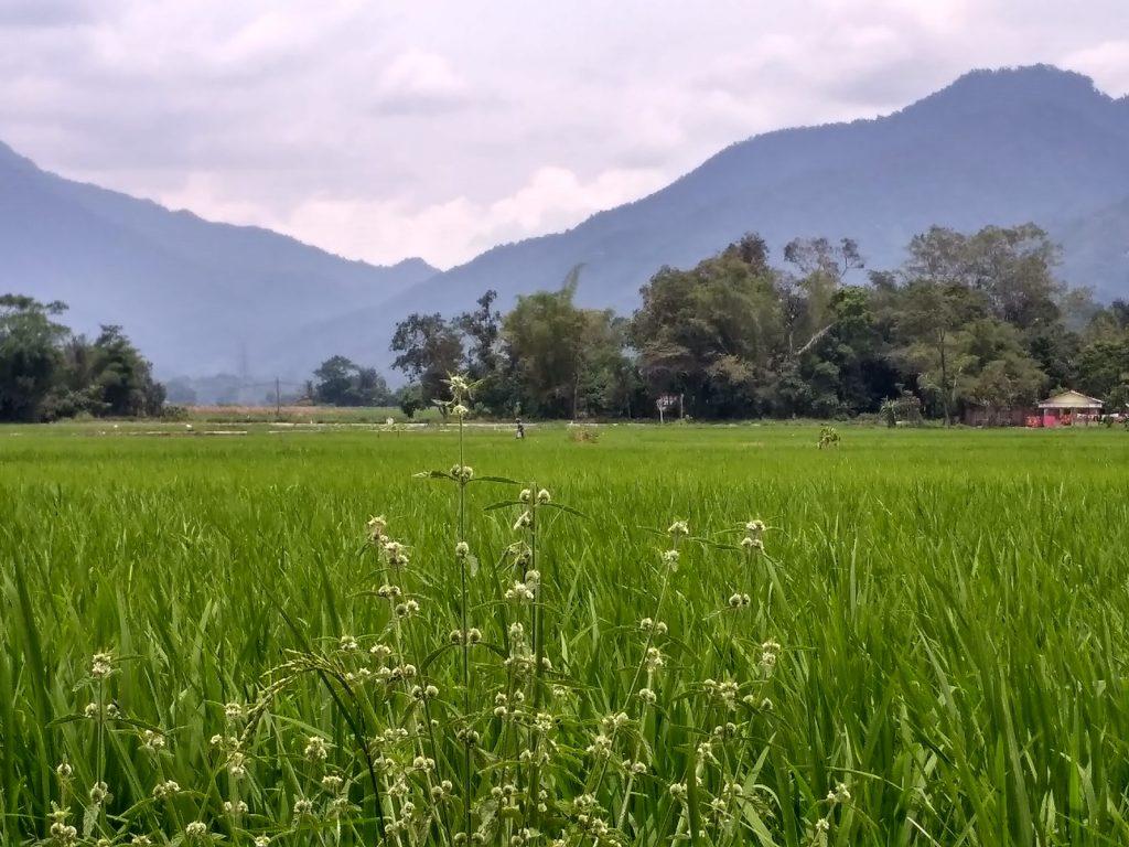 Sawah di Sigura-gura, Kecamatan Porsea, Kabupaten Toba Samosir (Photo: Yudi Sinambela/ Vibizmedia.com)