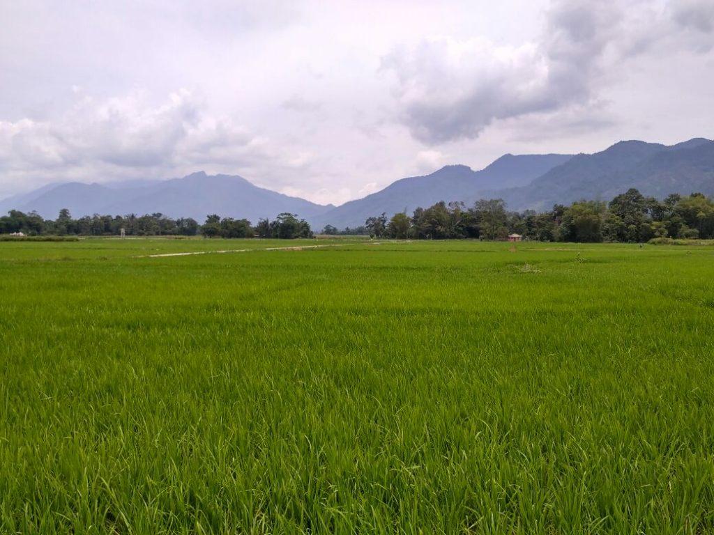 Paduan sawah padi, dunung, langit dan awan, di Simpang Sigura-gura, Kecamatan Porsea, Kabupaten Toba Samosir (Photo: Yudi Sinambela/ Vibizmedia.com)