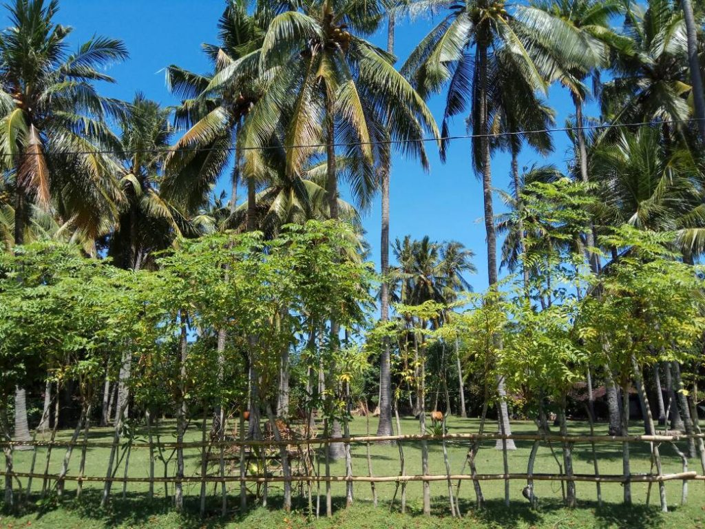 Suasana desa Perancak, desa pesisir pantai dengan pohon-pohon kelapa sejauh mata memandang (Photo: Vera Indriani/ BD)